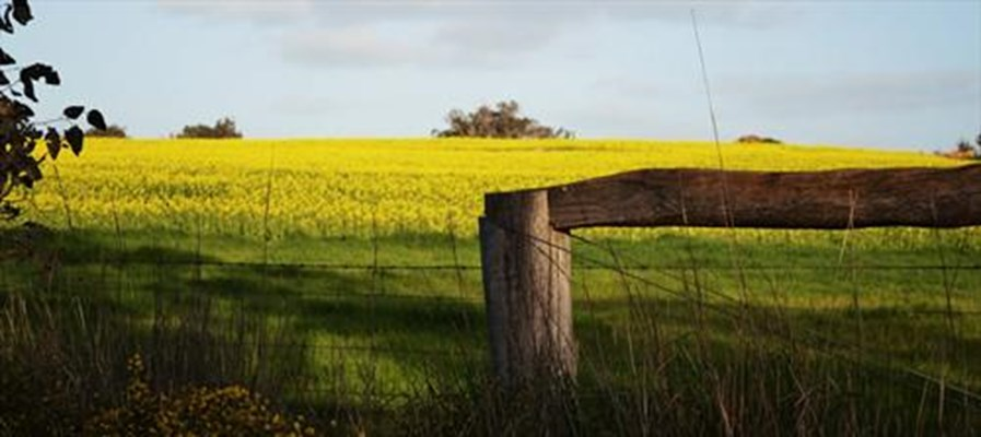 Agriculture - Canola 29